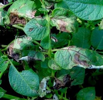 фітофтороз листя картоплі