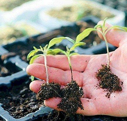 кореневі гнилі розсади