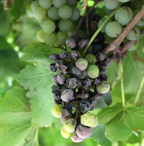 мілдью винограду