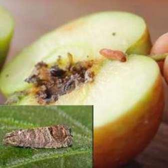 яблунева плодожерка