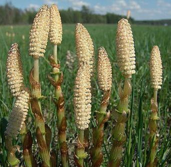 спороносні рослини хвоща польового