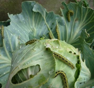 білан капустяний, гусениці