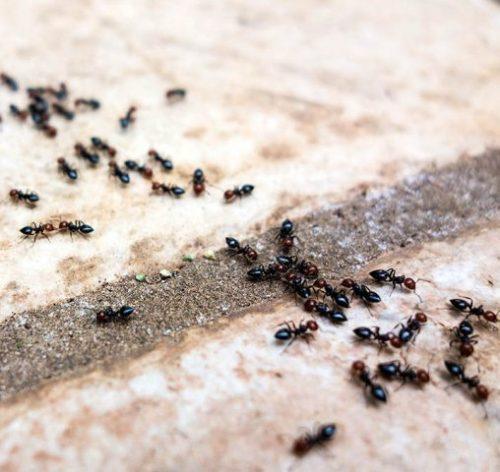 мурахи в побутових приміщеннях