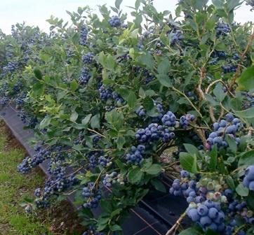 вирощування лохини в полі