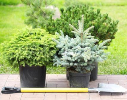 багаторічні рослини в горщиках