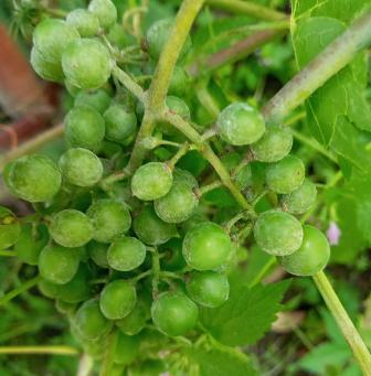 мілдью на гронах винограду