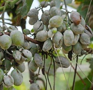 Оїдіум на гронах винограду