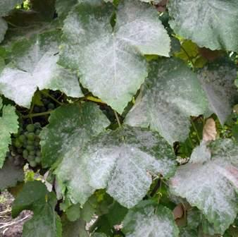 Оїдіум винограду